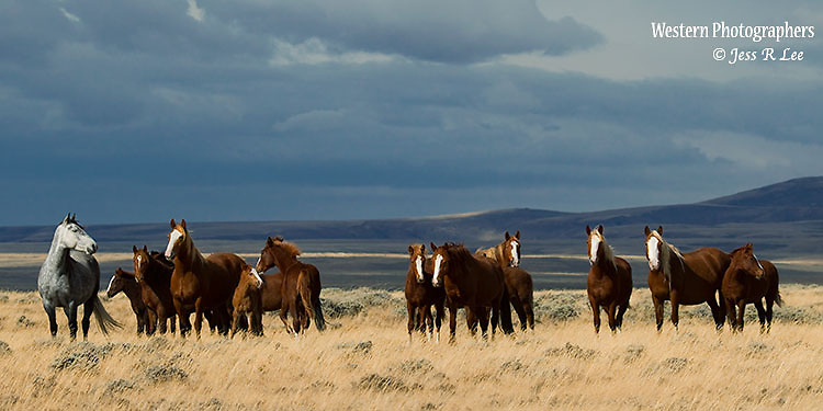 A photo of a band of wild horses from southern Wyomig.