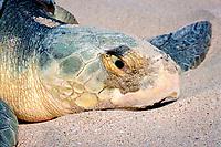 nesting Kemp's ridley sea turtle, Lepidochelys kempii ( endangered ), close-up of head, Rancho Nuevo, Mexico ( Gulf of Mexico ), Atlantic Ocean