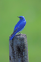 Mountain Bluebird, Bear Valley, Oregon