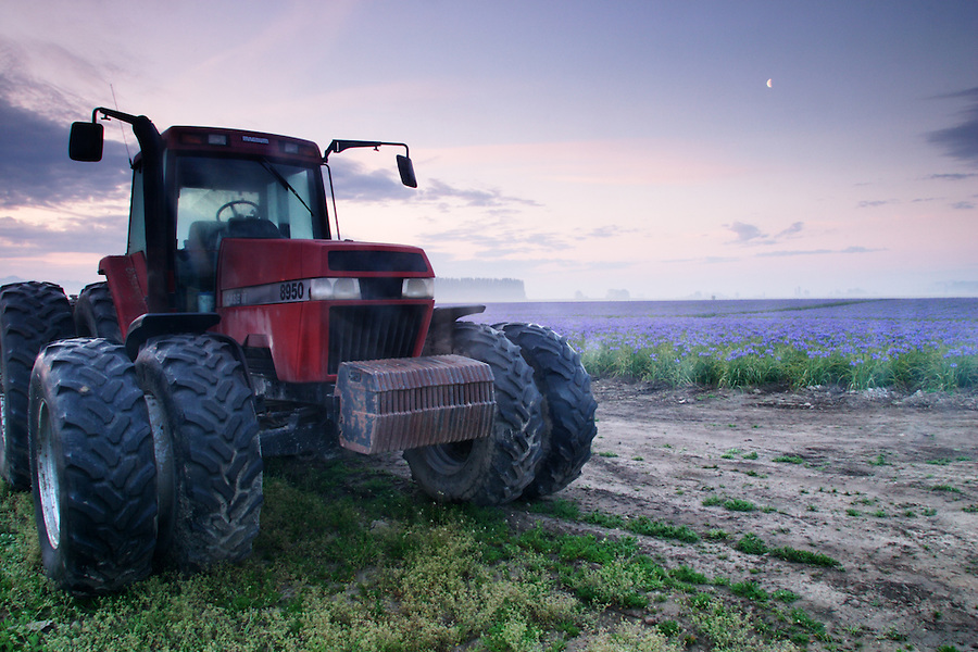 Tractor next to field of blue iris on foggy morning, Mount Vernon, Skagit Valley, Skagit County, Washington, USA