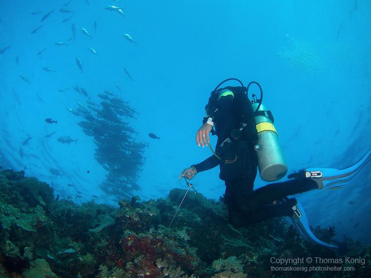 Apo Reef, Sulu Sea -- Diver looking at a large school of black jacks from below.