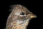 Ruffed grouse, Bonasa umbellus, game bird, gallinaceous<br />