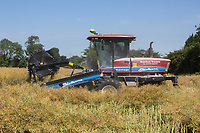 Contractors swathing oilseed rape<br /> &copy;Tim Scrivener Photographer 07850 303986<br />      ....Covering Agriculture In The UK....