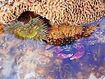 rock crab in Santa Barbara