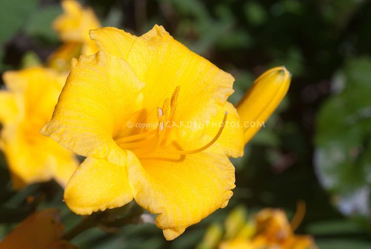 Hemerocallis Stella d'Oro daylilies