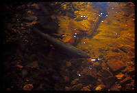 A RAINBOW TROUT (STEELHEAD) IS SEEN IN THE LITTLE GARLIC RIVER NEAR MARQUETTE MICHIGAN DURING THE SPRING SPAWNING SEASON.