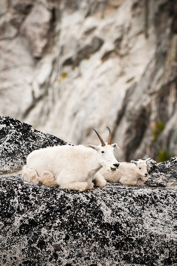 Mountain Goat (Oreamnos americanus) with kid, The Enchantments, Alpine Lakes Wilderness, WA.