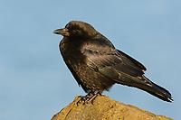Northwestern Crow (Corvus caurinus) perched on a coastal rock. King County, Washington. January.