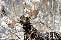 Nosey. Large proboscis, red eyeball, white teeth and decent set of antlers. Ladies man, no doubt. December 2013. Summit County, Utah.