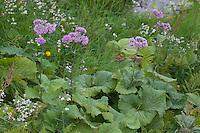 Grauer Alpendost, Grau-Alpendost, Adenostyles alliariae, Syn. Adenostyles albifrons, Common Adenostyles