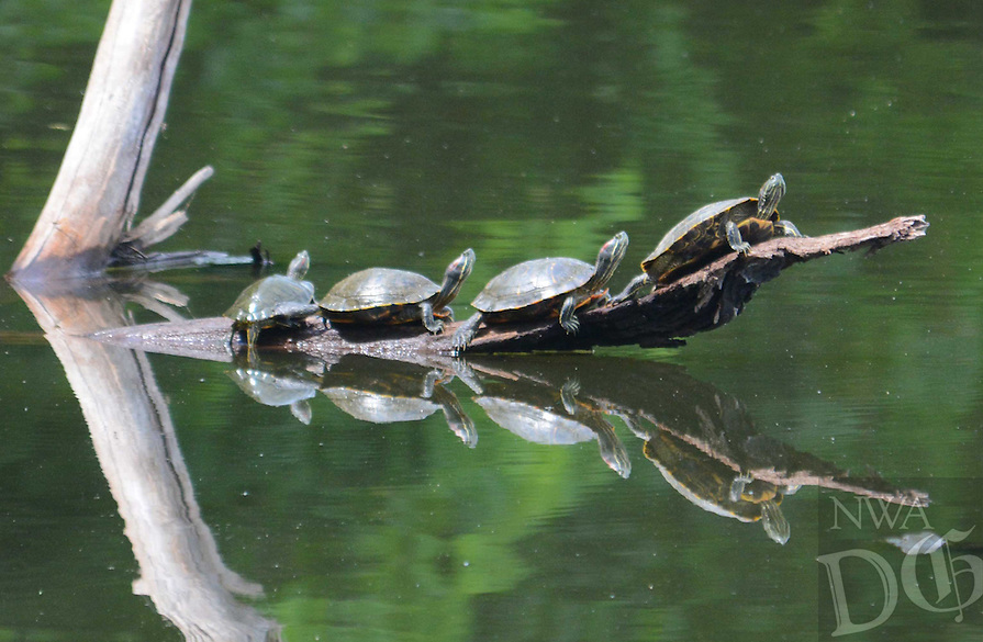 Courtesy photo/TERRY STANFILL<br /> SHELL GAME<br /> Turtles sun themselves at Swepco Lake near Gentry. Terry Stanfill of the Decatur area took the picture May 29 near the lake's Eagle Watch Nature Trail.
