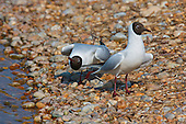 Black headed Gull (Chroicocephalus ridibundus) in courtship. With head drooped low, and the nape of the neck even lower, is a typical courtship posture, and quite comical at times to watch. Swimming on water or land, the Black headed Gull can execute this posture. This posture is similar to the one taken when begging for food.