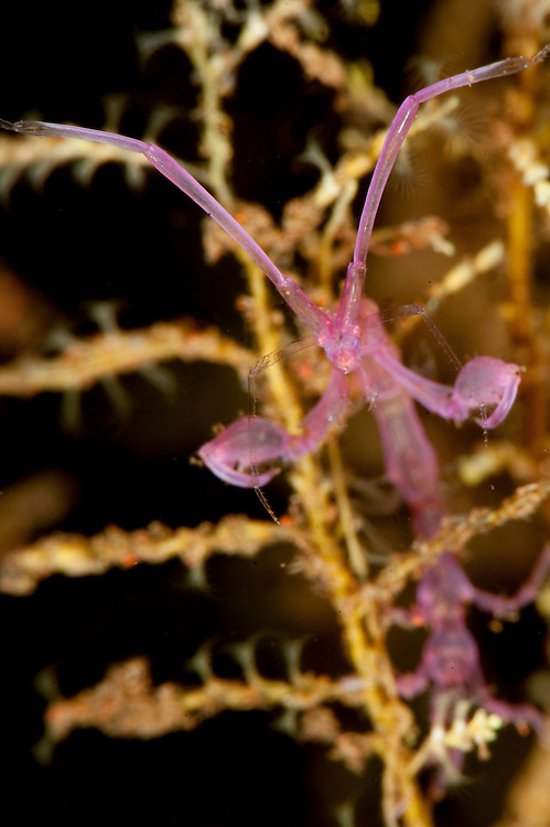 Purple variety of skeleton shrimp: Caprella sp. Tulamben, Bali