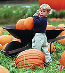 SOUTHBURY, CT.--10/7/98--1007MA05.tif--Avery Rodriquez, 3, of Woodbury finds a pumpkin of his own Wednesday afternoon at the Berry Farm Pumpkin Patch in Southbury. MICHAEL ASARO staff photo for COUNTRY LIFE COVER