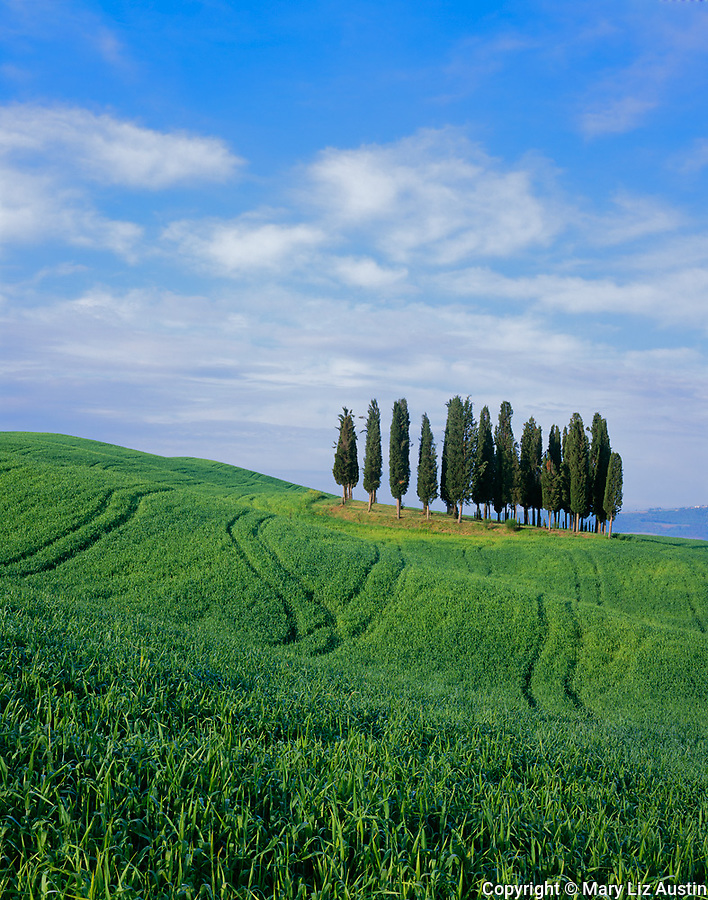 Tuscany, Italy:  Grove of cypress trees on rolling wheat field in the Val d'Orcia area near Montepulciano