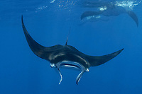 reef manta ray, Manta alfredi, feeding, Kiritimati, or Christmas Island, Republic of Kiribati, Pacific Ocean
