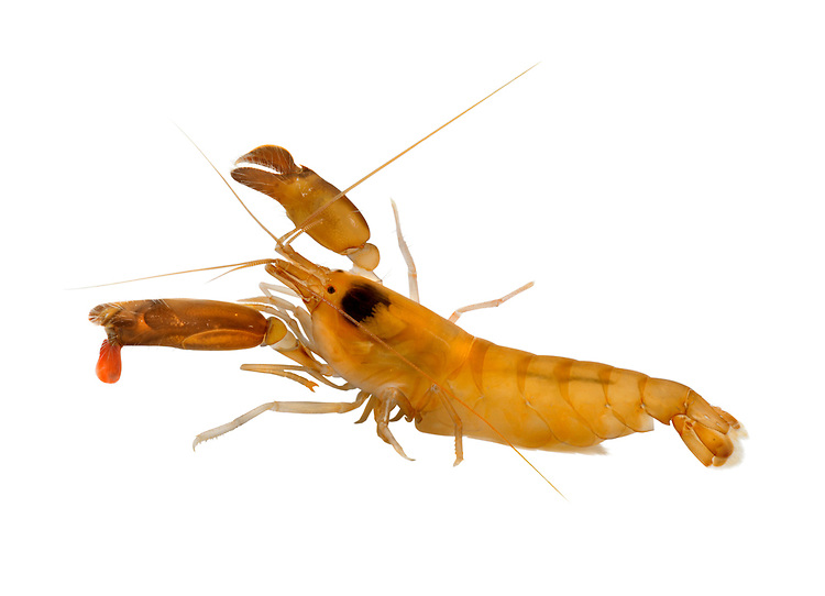 Snapping Prawn - Alpheus macrocheles
