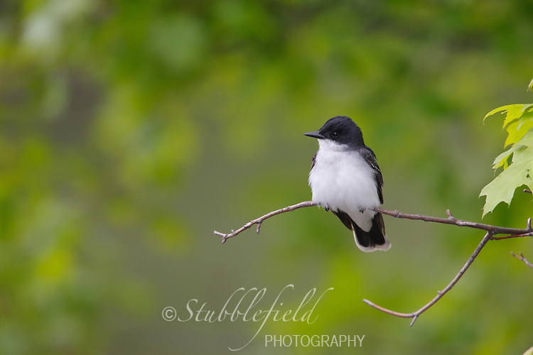 Eastern Kingbird (Tyrannus tyrannus), sitting on open branch.