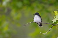 Eastern Kingbird (Tyrannus tyrannus), sitting on open branch.