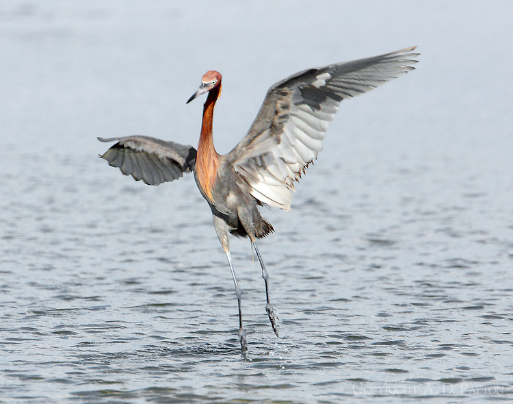 Intermediate color phase reddish egret chasing fish. Notice white feathers under wings.