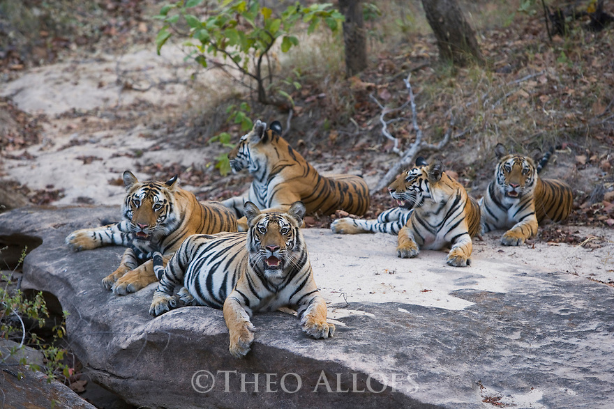 Bengal tigress with her four 17 months old cubs lying on rock in dry creek bed, early morning, dry season