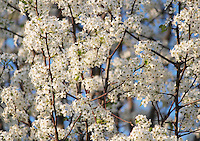 Stock photo: White cherry blossom branches against blue sky making gorgeous interesting pattern and textured background image.