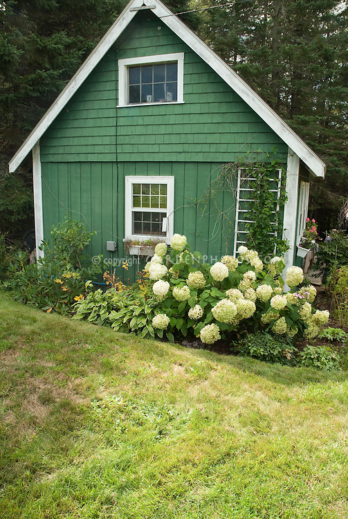Hydrangeas in August against garden shed Plant Flower