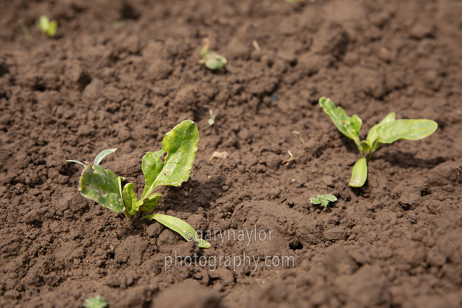 Sugar beet plants - Lincolnshire, May