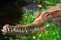 Close-up of gavial head, teeth, sleeping. Orlando Florida.
