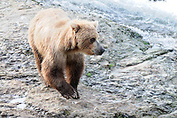 A brown bear looks for a good fishing spot at the McNeil River Falls,  in Alaska's McNeil River State Game Sanctuary.