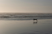Golden Labrador hunting dog running on the beach at Westport, Washington.