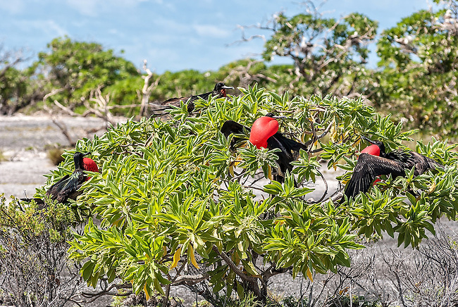 The Great Frigatebird on Kiritimati, Kiribati