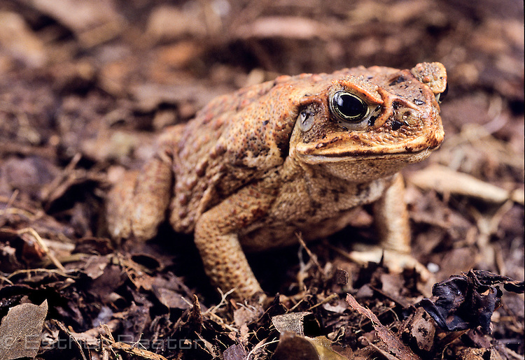 Cane Toad or Giant Toad (Bufo marinus) introduced to Australia. Townsville, Queensland