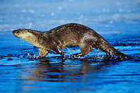 River otter (Lutra canadensis) along edge of mostly frozen lake, Winter.