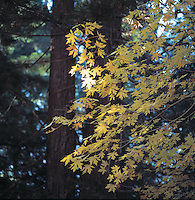 Fall colors in redwood forest
