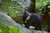 Black bear (Ursus americanus) with salmon, Southeast Alaska, summer.