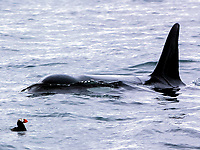 Transient orca or killer whale, Orcinus orca, approaches tufted puffin, Fratercula cirrhata, for next attack off the Chiswell Islands, Alaska, Pacific Ocean