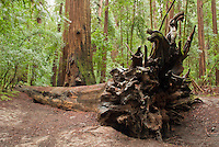 Fallen trunk of a coast redwood, Sequoia sempervirens, in Big Hendy Grove, Hendy Woods State Park, California