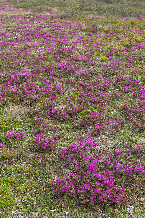 Spring blooming lapland rosebay colors the tundra in Denali National Park, Alaska Range mountains in the distance.