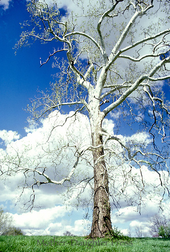 American sycamore tree, Platanus occidentalis, soaring amidst the clouds and blue sky