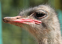 Stock photo: Close-up portrait of an Ostrich bird in a Cyprus zoo.