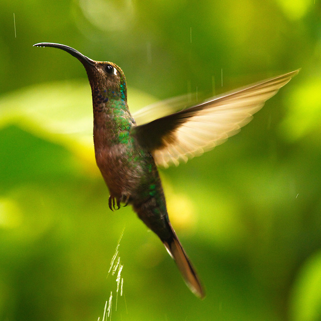 A hummingbird lightens its load while hovering in misty rain