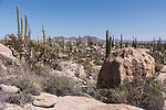 Catavina, Baja California, Mexico; large Cardon Cactus growing amongst the rocky valley floor