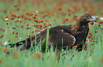 Golden Eagle, Aquila chrysaetos, in flower meadow, USA, controlled situation.USA....