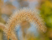 A grass seed head is backlit and glows in the warm morning light, Oldfield Oaks Forest Preserve, DuPage County, Illinois