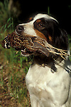 English setter bird dog retrieving bob white quail