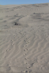 Hanford Reach National Monument, Wahluke Slope, sand dunes, coyote tracks, Columbia Basin, eastern Washington, Washington State, Pacific Northwest, USA, North America,