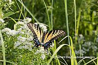 03023-03212 Eastern Tiger Swallowtail (Papilio glaucaus) on Slender Mountain Mint (Pycnanthemum tenuifolium) Marion Co. IL