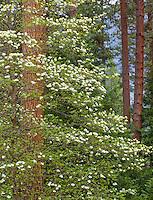 Yosemite National Park, Ca<br /> Flowering pacific dogwood (Cornus florida) against ponderosa pine trunks in Yosemite Valley