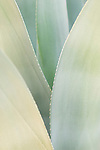 Phoenix, Arizona; Agave plant leaves